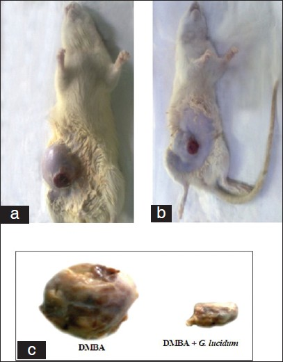 Figure 3: a, b and c Show the morphological appearance of DMBA and DMBA + GLEet treated rats. (a) The morphological appearance of the mammary adenocarcinoma in DMBA treated female Sprague dawley rats and (b) The morphological appearance of the mammary adenocarcinoma in DMBA + GLEet treated female Sprague dawley rats. (c) Tumor size of DMBA and DMBA +GLEet treated rats