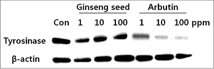 Figure 3: Effect of ginseng seed extract on tyrosinase intracellular levels in melan-a-cells (Arbutin was used as positive control. Samples were treated for 3 d and then amount of expression of tyrosinase proteins were measured by western immunoblotting)