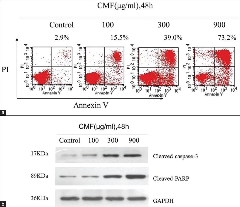 Figure 3: CMF induced apoptosis through a caspase-mediated pathway in K562 cells. (a) Evaluation of apoptosis by Annexin V-FITC/PI dual staining assay and flow cytometer analysis after CMF treatment (100, 300, 900 μg/ml) for 48 h. (b) Effects of CMF on the expression of caspase-3 and PARP proteins. Equal amounts of whole cell lysates (50 μg) were subjected to Western blot analysis. The amount of GAPDH was measured as an internal control