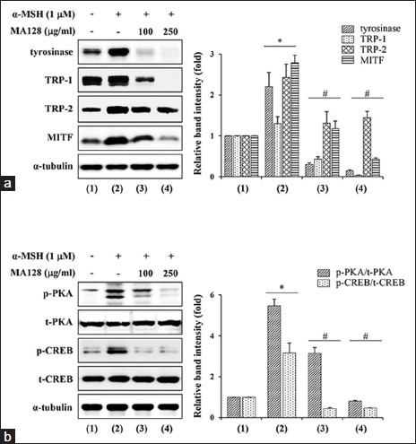 Figure 4: Effects of MA128 on the levels of melanogenic proteins, p-c-AMP-dependent protein kinase (PKA), and p-c-AMP-related element binding protein (CREB) in alpha-melanocyte stimulating hormone (α-MSH)-stimulated B16F10 cells. (a) B16F10 cells preincubated with or without 100 and 250 μg/mL MA128 for 12 h were simulated with 1 μM α-MSH for additional 36 h. After harvest of cells, lysates were subjected to western blotting for the detection of tyrosinase, tyrosinase-related protein-1 (TRP-1), TRP-2, and microphthalmia-associated transcription factor levels. (b) B16F10 cells were preincubated with or without 100 and 250 μg/mL MA128 for 12 h, and then further stimulated with 1 μM α-MSH for 30 min. Changes in the level of p-PKA and p-CREB were examined by western blotting followed by quantitation with ImageJ. Relative ratios were determined after normalization to α-tubulin expression. Data are expressed as mean ± standard deviation of two independent experiments. <i>*P</i> < 0.05 versus untreated control, <i>#P</i> < 0.05 versus α-MSH stimulation
