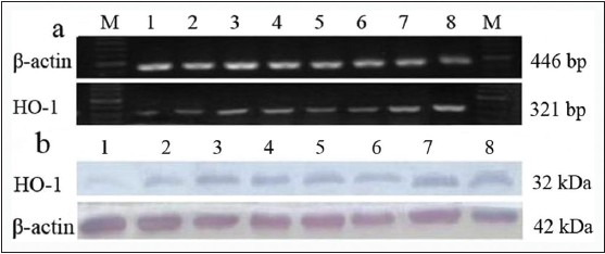 Figure 4: Gene and protein expressions of heme oxygenase-1 (HO-1) among the groups. (a) HO-1 messenger ribonucleic acid map. (b) Western-blotting pattern of HO-1. (1) Sham. (2) Model. (3) Astragaloside IV. (4) Ginsenoside Rg1. (5) Ginsenoside Rb1. (6) Notoginsenoside R1. (7) Four active components combination. (8) Edaravone