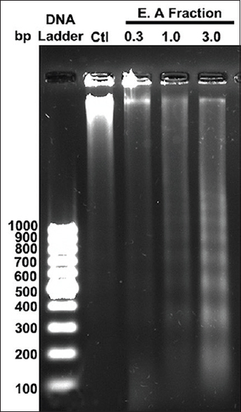 Figure 9: DNA fragmentation assay performed with different concentration of ethyl acetate fraction exposed HeLa cells and Isolated DNA samples were analyzed using (2%) agarose gel electrophoresis