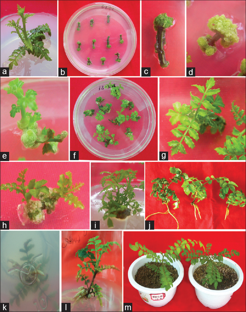 Figure 2: Plant regeneration of Asakura-sanshoo. (a) Axillary shoots. (b-d) Callus induction from stems and petioles. (e-i) Regeneration shoots. (j-l) Roots induced from different medium. (m) Rooted plantlets transferred to pots