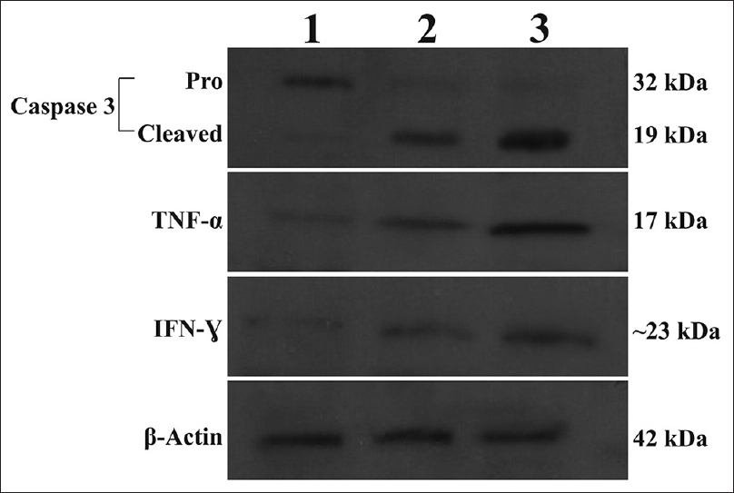 Figure 6: Lysates from A549 cells were incubated with 20 μg/mL aerial (Lane 2) or 40 μg/mL root (Lane 3) extracts were analyzed by Western blotting for caspase-3, TNF-α and IFN-γ protein expression levels. Aerial- or root-treated cells show cleaved (activated) caspase-3, whereas untreated (Lane 1) cells have no cleaved caspase-3. β-actin was used as internal control