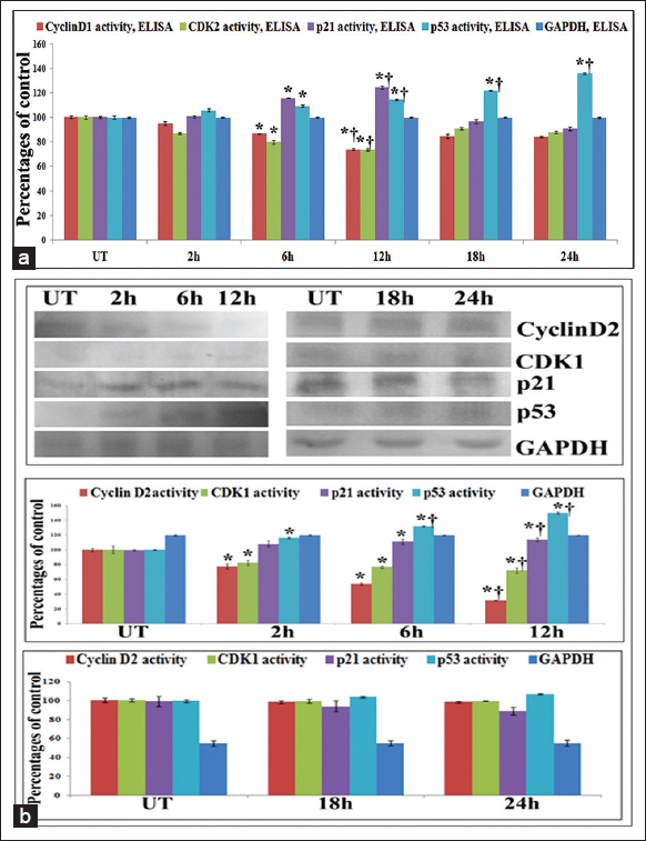 Figure 9: (a) Enzyme linked immunosorbent assay (ELISA) of cell cycle markers. Results of ELISA showed significant downregulation of cyclin D1-CDK2 with p21 and p53 up-regulation in the early phases (2 h, 6 h, 12 h) of Con A treatment (32 µg/ml), specifically at 12 h against untreated samples. But in the late phases of treatment (18 h and 24 h), downregulation of cyclin D1-CDK1 and p21 was found with the significant increased expression of p53 (b) Western blots of cell cycle markers. Results showed significant downregulation of cyclin D1-CDK2 with p21 and p53 up-regulation in the early phases (2 h, 6 h, 12 h) of Con A treatment (32 µg/ml), specifically at 12 h against untreated samples. But in the late phases of treatment (18 h and 24 h), downregulation of cyclin D1-CDK1 and p21 was found with the significant increased expression of p53. Results are expressed as mean ± standard deviation (<i>N</i> = 6). Significance, *<i>P</i> < 0.05 versus untreated (UT) and †<i>P</i> < 0.001 versus UT