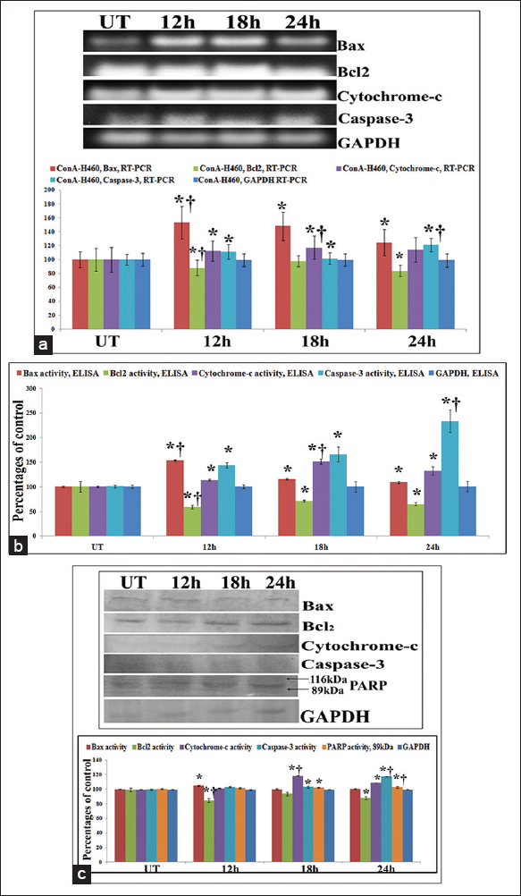 Figure 10: (a) Study on apoptosis markers at mRNA level by reverse transcriptase polymerase chain reaction (RT-PCR) and (b) at protein level by enzyme linked immunosorbent assay (ELISA). The results of RT-PCR and ELISA of Bax/Bcl2 revealed significant upregulation of Bax and downregulation of Bcl2 at 12 h of treatment against untreated samples. The results of cytochrome-c expression at mRNA and protein level revealed that at 18 h of treatment cytochrome-c expression was at the maximum as compared to the untreated control. Significant increase of expression of caspse-3 at 24 h interval was observed against UT that triggers apoptosis. Results are expressed as mean ± standard deviation (SD) (<i>N</i> = 6). Significance, *<i>P</i> < 0.05 versus untreated (UT) and †<i>P</i> < 0.001 versus UT. (c) Study on apoptosis markers at protein level by western blot. The results of Bax/Bcl2 revealed significant upregulation of Bax and downregulation of Bcl2 at 12 h of treatment against untreated samples. The results of cytochrome-c expression revealed that at 18 h of treatment cytochrome-c expression was at the maximum as compared to the untreated control. Significant increase of expression of caspse-3 at 24 h interval was observed against UT that stimulates the cleavage of PARP. The western blot analysis of PARP at different hour intervals showed that at 24 h time-point, PARP cleavage occurred by the formation of active 89 kDa and inactive 116 kDa subunits where band-intensity was significantly increased in 89 kDa fragment against untreated controls. Results are expressed as mean ± SD (<i>N</i> = 6). Significance, *<i>P</i> < 0.05 versus untreated (UT) and †<i>P</i> < 0.001 versus UT
