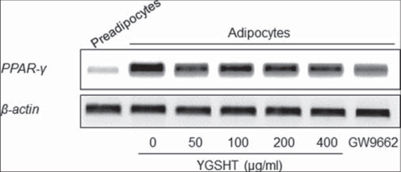 Figure 6: Effects of Yanggyuksanhwa-tang (YGSHT) on the mRNA expression of PPAR-g in 3T3-L1 adipocytes. 3T3-L1 preadipocytes were differentiated into adipocytes by incubation with isobutylmethylxanthine, dexamethasone and insulin (MDI) for 6 days. The cells were exposed to various concentrations of YGSHT (0, 50, 100, 200, or 400 μg/ml) during the differentiation period. Total RNA was isolated and subjected to RT-PCR for PPAR-γ. β-actin was used as a housekeeping gene
