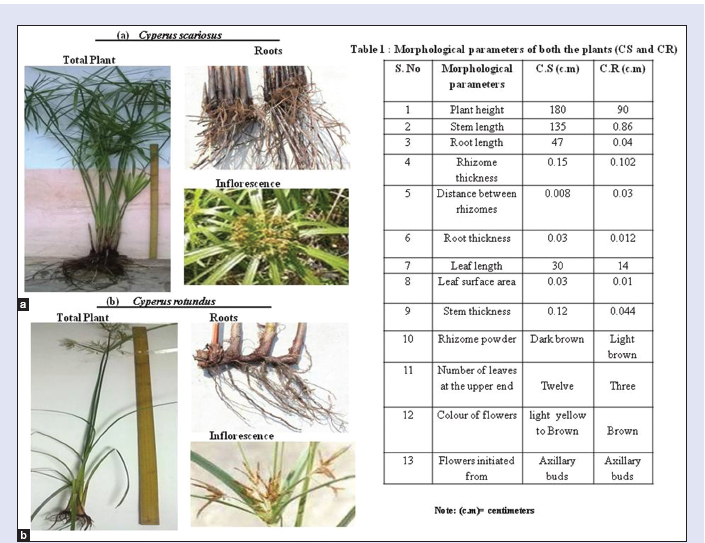Figure 1: Comparison of morphological characteristics of Total plant, Roots and inflorescence (a) <i>C. scariosus</i> (b) <i>C. rotundus</i>. [Table 1]: Morphological parameters of both the plants <i>Cyperus scariosus</i> and <i>Cyperus rotundus</i>