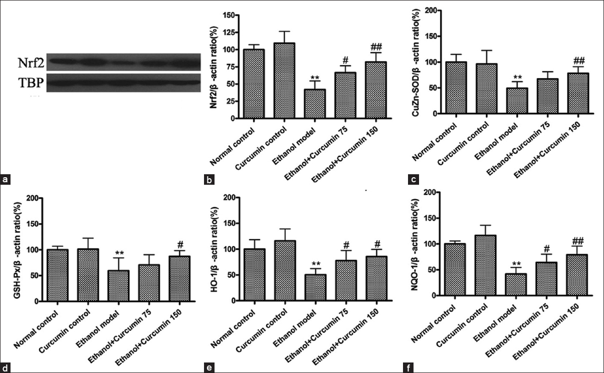 Figure 5: Effects of curcumin on nuclear factor E2-related factor 2 (Nrf2) mediated anti-oxidative signaling pathway in ethanol-induced liver injury in mice. (a) Representative bands of nuclear Nrf2 protein tested by Western blotting; (b) quantification of Nrf2/TBP ratio; TBP was used as internal control for nuclear protein. (c) Measurement of mRNA level of CuZn-superoxide dismutase (CuZn-SOD); (d) Measurement of mRNA level of glutathione peroxidase (GSH-Px); (e) Measurement of mRNA level of heme oxygenase-1 (HO-1); (f) Measurement of mRNA level of NAD(P)H quinone oxidoreductase 1 (NQO1)