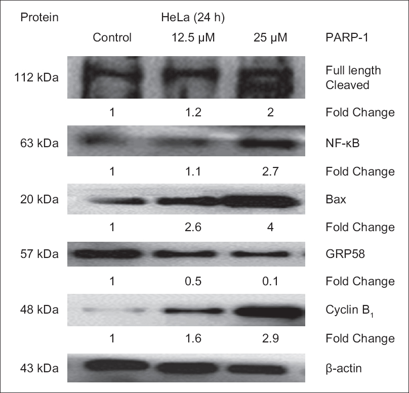 Figure 2: Expression level of the apoptotic-related proteins in HeLa cells determined by Western Blot analysis. β-actin acts as a loading control. Protein bands were quantified by densitometric analysis. Relative expression was calculated by the optical density ratio of protein to β-actin and normalized against the control. PARP-1: Poly (adenosine diphosphate-ribose) polymerase
