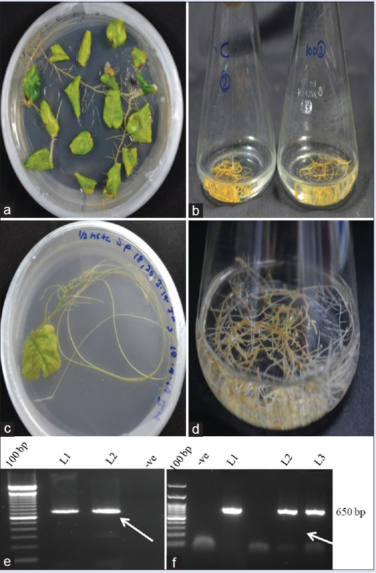 Figure 1: Establishment of hairy roots in <i>Rauwolfia serpentina</i> and <i>Solanum khasianum</i>. (a and c) Induction; (b and d) proliferation and (e and f ) PCR confirmation of positive lines respectively