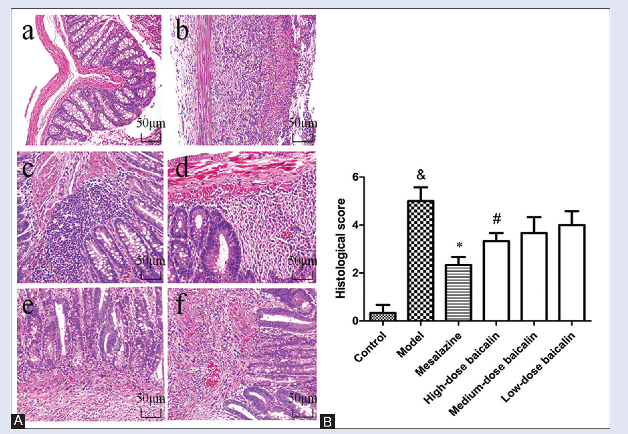 Figure 3: Representative histological images and scores of colonic epithelial cell. (A) Representative histological images stained by H and E. a: Control blank (rats were not induced but administrated by physiological saline); b: 2,4,6-trinitrobenzene sulfonic acid (rats were induced by 2,4,6-trinitrobenzene sulfonic acid and administrated by physiological saline); c: 2,4,6-trinitrobenzene sulfonic acid + mesalazine (rats were induced by 2,4,6-trinitrobenzene sulfonic acid and administrated by mesalazine); d: 2,4,6-trinitrobenzene sulfonic acid + high-dose baicalin (rats were induced by 2,4,6-trinitrobenzene sulfonic acid and administrated by high-dose baicalin); e: 2,4,6-trinitrobenzene sulfonic acid + medium-dose baicalin (rats were induced by 2,4,6-trinitrobenzene sulfonic acid and administrated by medium-dose baicalin); f: 2,4,6-trinitrobenzene sulfonic acid + low-dose baicalin (rats were induced by 2,4,6-trinitrobenzene sulfonic acid and administrated by low-dose baicalin). (B) Histological score. Data were mean ± standard deviation (n = 6). &<i>P</i> < 0.05 versus control blank group; *<i>P</i> < 0.05 versus 2,4,6-trinitrobenzene sulfonic acid group; #<i>P</i> < 0.05 versus mesalazine group