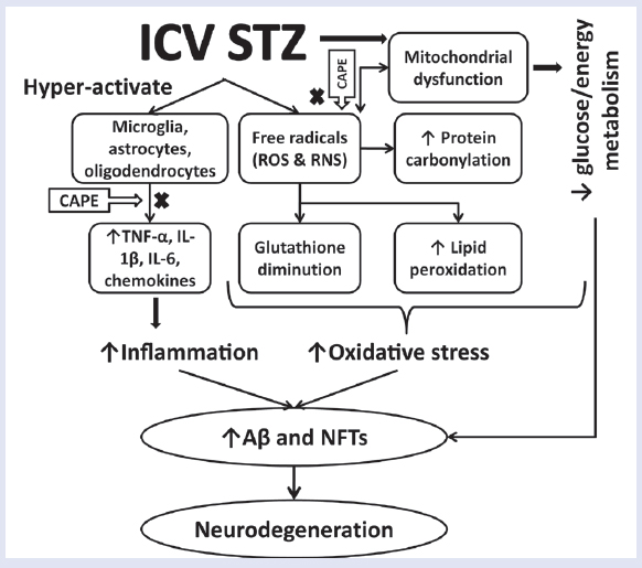 Figure 4: Proposed mechanism of amelioration of STZ-ICV-induced neurodegeneration through administration of CAPE in rats