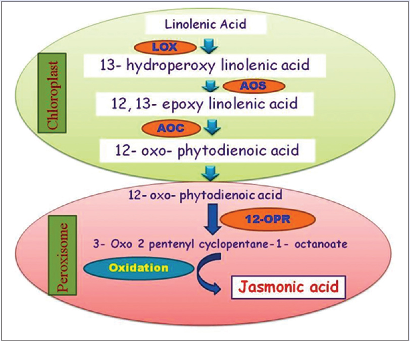 Figure 1: Jasmonic acid is synthesized from fatty acid linolenic acid. Lipoxygenase, allene oxide synthase, allene oxide cyclase are the key enzymes of jasmonate biosynthesis in chloroplast, and they form oxo-phytodienoic acid. Oxo-phytodienoic acid is transported to peroxisome. Reduction of cyclopentanone ring of oxo-phytodienoic acid is catalyzed by peroxisomal oxo-phytodienoic acid reductase enzyme. Three cycles of ß-oxidation occur to give finally jasmonic acid