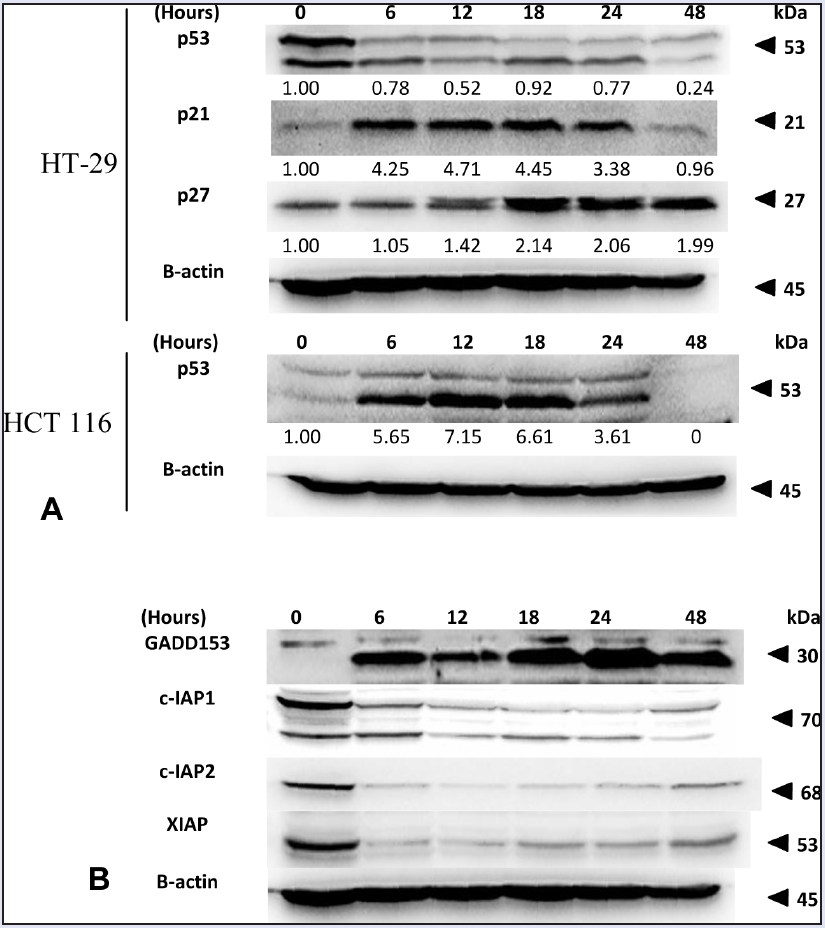 Figure 7: (A) Effect of FKC on the protein levels of p53, p21, and p27 in HT-29 and HCT 116 cells. (B) The changes in the protein levels of GADD153, c-IAP1, c-IAP2, and XIAP in HT-29 cells treated with FKC were analyzed by western blot.