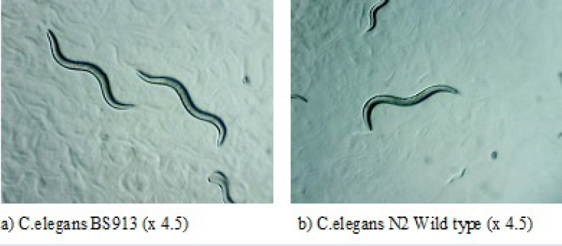 Figure 4: Microscopic images of <i>C. elegans</i> BS913 and N2 wild type.