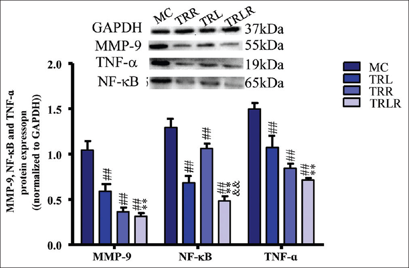 Figure 6: Triptolide and Tripterine Effect on protein expression of MMP-9, TNF-a and NF-kB in Apo E<sup>-/-</sup> Mice. MMP-9, Matrix metalloprotein 9; NF-kB, Nuclear factor-kappa B; TNF-a, Tumor Necrosis Factor Alpha; Data are mean ± SD (<i>n</i> = 6). <sup>##</sup><i>P <</i> 0.01 versus MC group; *<i>P <</i> 0.05 and **<i>P <</i> 0.01 versus TRL group; <sup>&</sup><i>P</i> < 0.05 and <sup>&&</sup><i>P</i> < 0.01 versus tripterine group