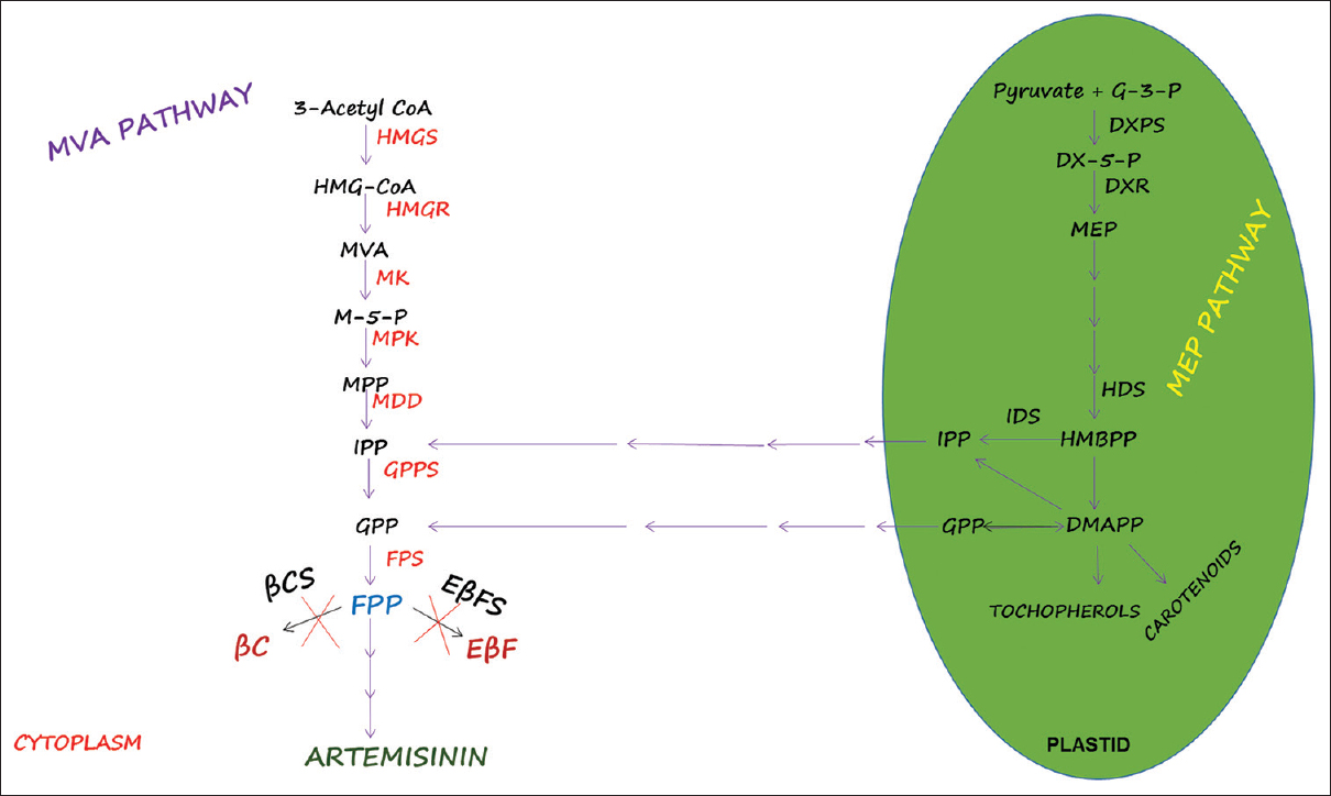Figure 1: Artemisinin synthesis pathways in <i>Artemisia annua</i>. The enzymes shown in red belong to mevalonate pathway. The 2-C-methyl-D-erythritol 4-phosphate pathway enzymes are shown in green oval cartoon. The enzymes for artemisinin biosynthesis start from farnesyl diphosphate (farnesyl pyrophosphate), an intermediate product of terpenoid metabolism. The arrows between mevalonate pathway and 2-C-methyl-D-erythritol 4-phosphate pathway demonstrate the crosstalk between these two pathways during artemisinin biosynthesis. The enzymes starting from the branch point (assigned with a cross sign below them) showing two putative sideway pathway enzymes in terpenoid metabolism