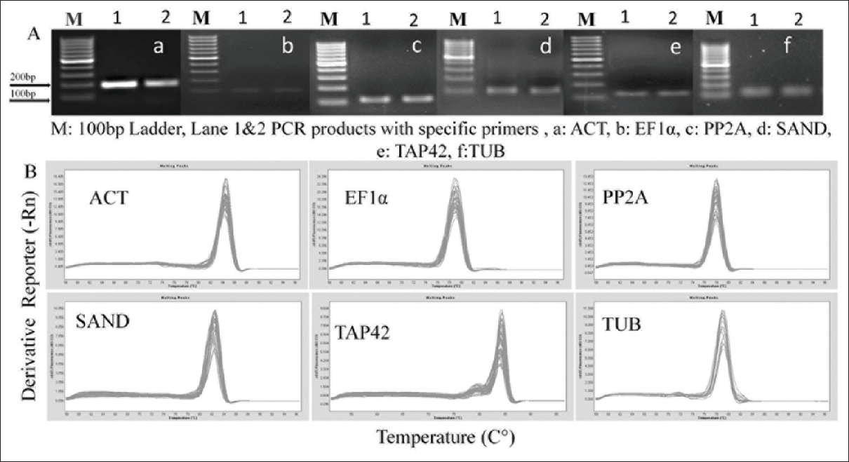 Figure 1: Reverse transcription-quantitative polymerase chain reaction amplification specificity. (A) Agarose gel (1.5%) showing amplification of specific polymerase chain reaction products of the expected size. (B) The melting curve of six reference genes showing a single peak