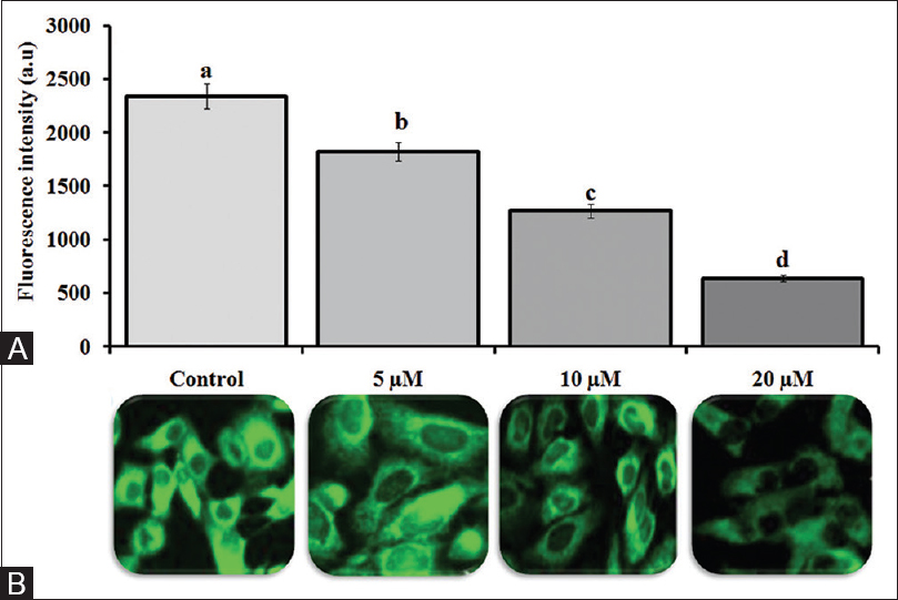 Figure 2: (A) Untreated human colorectal adenocarcinoma cell line cells shows high fluorescence indicate polarized mitochondria membrane (5–20 μM) shows human colorectal adenocarcinoma cell line cells were treated with different concentration of Vanillin for 24 h and fluorescence intensity was decreased as indicate collapsed mitochondria matrix. The images were acquired by floid cell imaging station. (B) fluorescence intensity was detected by spectrofluorometer. All experiments were performed in triplicate and all values were expressed as mean standard deviation of the mean. The (a-d) asterisks indicate significant difference from control (<i>P</i> < 0.05)