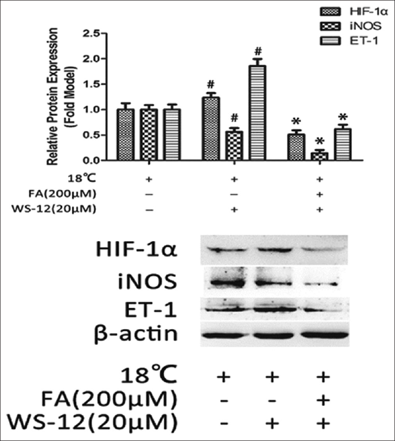 Figure 7: Influence of transient receptor potential ion channel subfamily M member 8 agonist WS-12 to hypoxia-inducible factor-alpha, endothelin-1, and inducible nitric oxide synthase, all proteins levels were determined by Western blot. Data were shown as means ± standard deviations (<i>n</i> = 3). Δ:<i>P</i> < 0.05 versus untreated control, #:<i>P</i> < 0.05 versus 18°C group