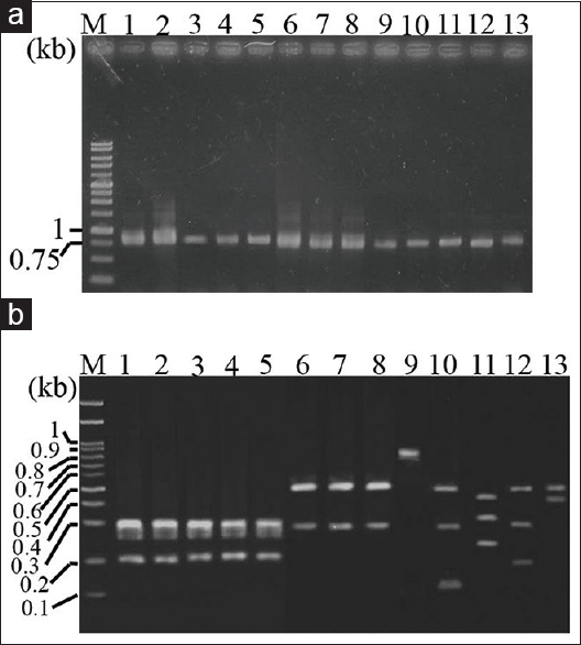 Figure 1: (a) Amplification of internal transcribed spacer DNA from various <i>Cinnamomum</i> plants by polymerase chain reaction. Polymerase chain reaction was performed using universal primers, TCM-5 and TCM-12, designed based on the sequence of nuclear ribosomal DNA. Polymerase chain reaction conditions were described in the methods and materials. (b) Polymerase chain reaction-restriction fragment length polymorphism analysis. <i>Myl</i> I and <i>Eco</i> RV restriction pattern of a polymerase chain reaction product of internal transcribed spacer DNA from seven Cinnamomum plants were resolved using 3% agarose gel. Lanes 1–5 indicate <i>Cinnamomum osmophloeum</i>; lanes 6–8 indicate <i>C. burmannii</i>; lanes 9–13 indicate <i>Cinnamomum kanehirae</i>, <i>Cinnamomum camphora</i>, <i>Cinnamomum reticulatum</i>, <i>Cinnamomum kotoense</i>, and <i>Cinnamomum cassia</i>, respectively. Lane M: DNA marker