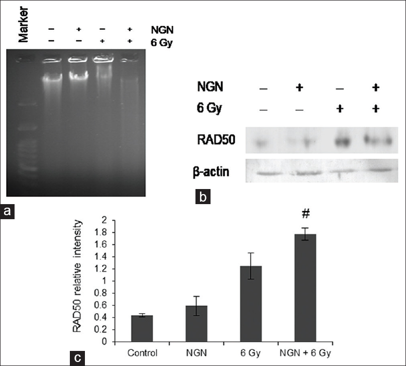 Figure 3: Naringenin and DNA damage.<b></b>(a) naringenin in combination with radiation promotes DNA degradation. (b) Western blot analysis of Rad50 protein. (c) Bar graph showing the densitometric plot of the level of Rad50 protein.<sup>#</sup> <i>P</i> < 0.05 versus respective irradiated group. Values are expressed as mean ± standard deviation. (Figure Legend 3 to be reproduced at full page width)