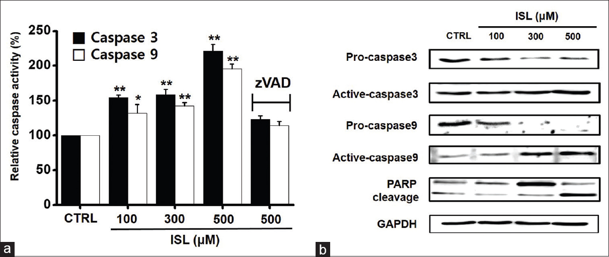 Figure 4: Caspases activation by isoliquiritigenin in 5637 cells. (a) 5637 cells were lysed and lysates were assayed for caspase-3 and -9 activities. (b) The changes of caspase-3, -9, and PARP cleavage activity were investigated by western blot. Results are presented as mean ± standard error of the mean GAPDH was the loading control. ISL: Isoliquiritigenin; CTRL: Control; PARP: Poly (adenosine diphosphate-ribose) polymerase. *<i>P</i> < 0.05, **<i>P</i> < 0.01 versus untreated controls