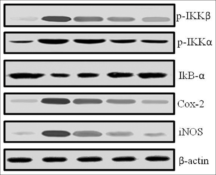 Figure 5: Western blot analysis on the effect of Limonin on the expressions of inflammatory mediator proteins in lipopolysaccharide-induced BV-2 cells. β-actin was used as internal control. Representation of three individual experiments is shown